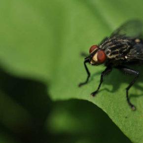 Cs solicita un plan nacional de control de la mosca negra