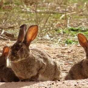 Cs Épila propone el pago de munición o de redes para evitar que se convierta en negocio la caza para frenar la plaga de conejos