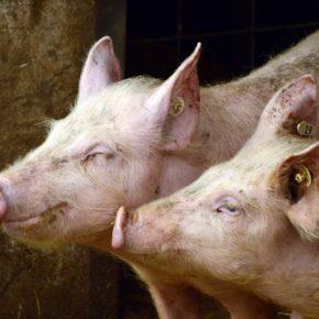 El Ayuntamiento de Malanquilla defiende el proyecto de una granja de porcino que generará una inversión de 7 millones de euros y 15 puestos de trabajo
